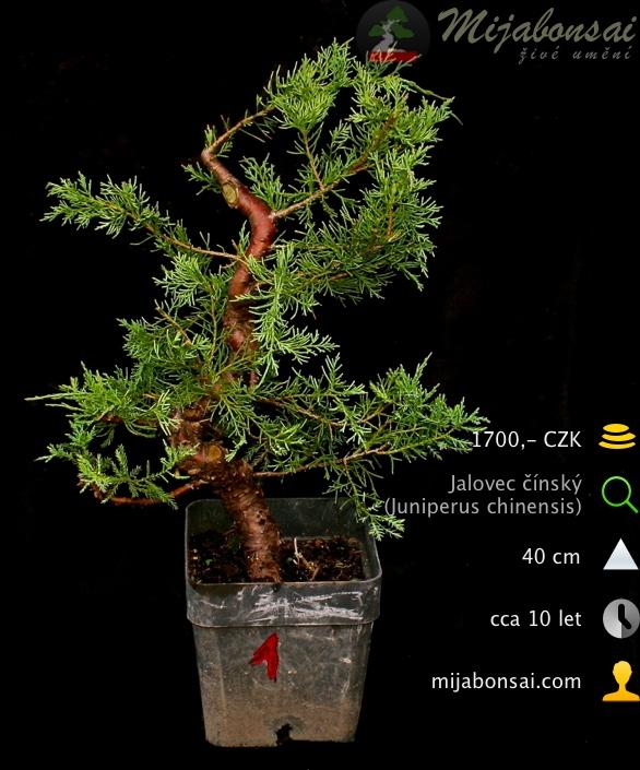 Jalovec-cinsky-bonsaj-bonsai-juniperus-chinensis-001