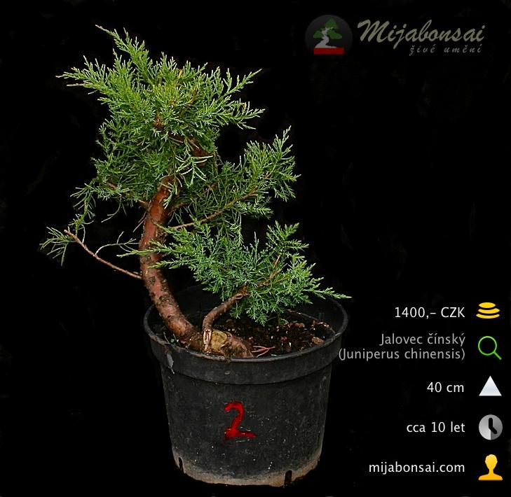 Jalovec-cinsky-bonsaj-bonsai-juniperus-chinensis-002
