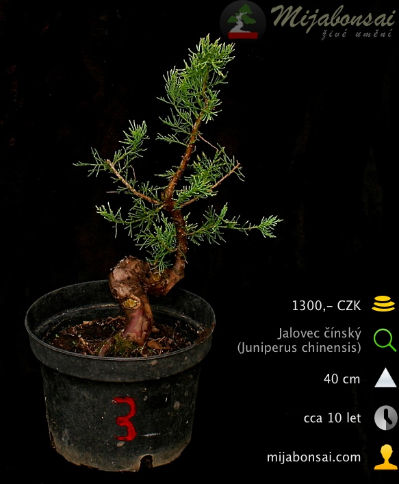 Jalovec-cinsky-bonsaj-bonsai-juniperus-chinensis-003