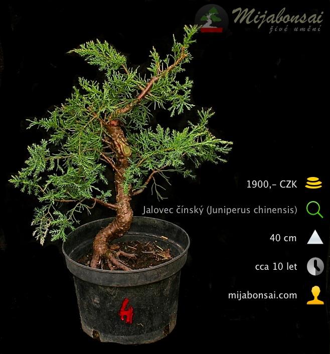 Jalovec-cinsky-bonsaj-bonsai-juniperus-chinensis-004