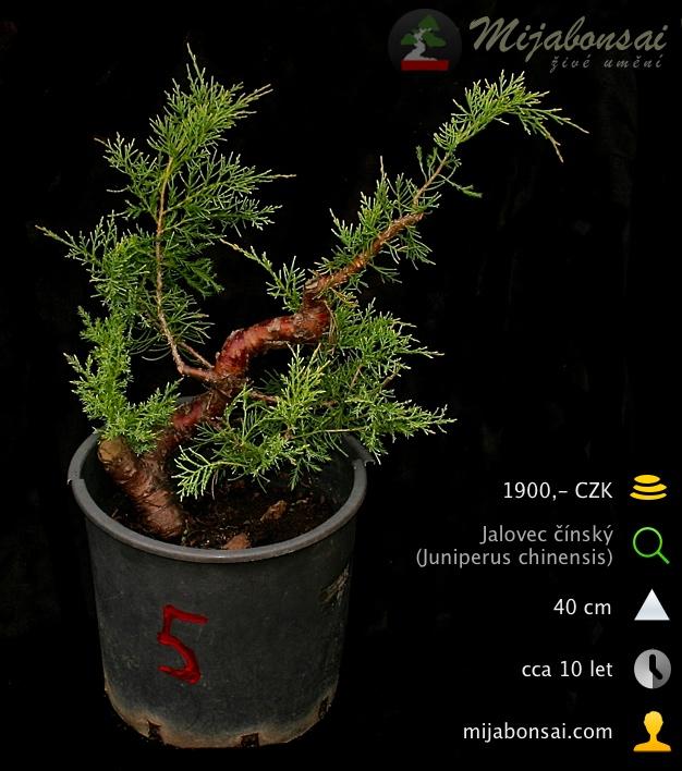 Jalovec-cinsky-bonsaj-bonsai-juniperus-chinensis-005