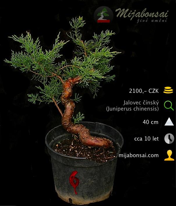 Jalovec-cinsky-bonsaj-bonsai-juniperus-chinensis-006