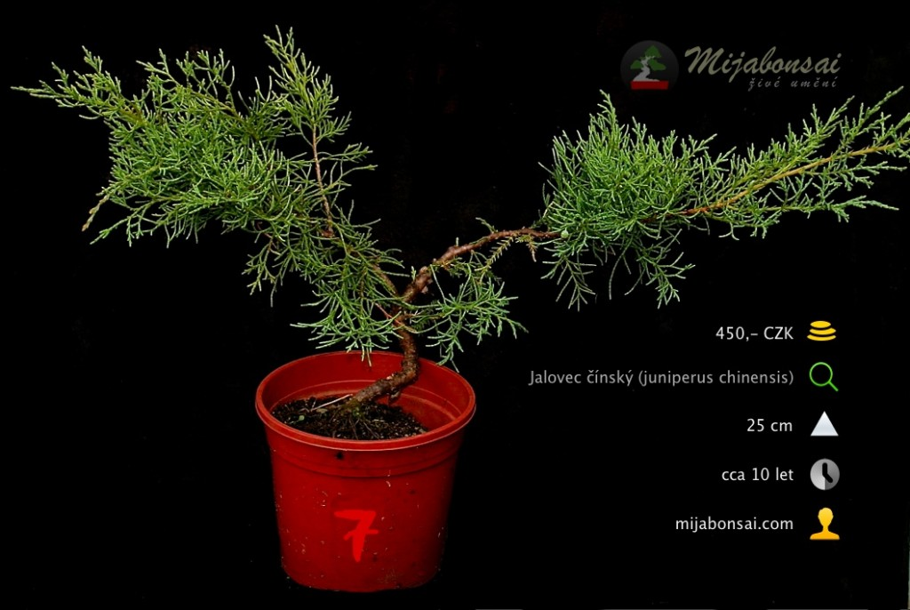 Jalovec-cinsky-bonsaj-bonsai-juniperus-chinensis-007