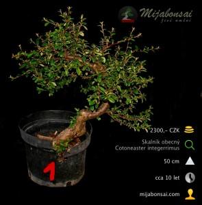 Skalnik-obecny-bonsaj-bonsai-cotoneaster-001