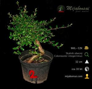 Skalnik-obecny-bonsaj-bonsai-cotoneaster-002
