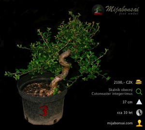 Skalnik-obecny-bonsaj-bonsai-cotoneaster-003