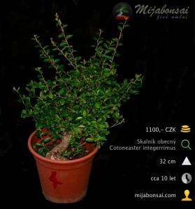 Skalnik-obecny-bonsaj-bonsai-cotoneaster-004