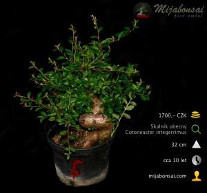 Skalnik-obecny-bonsaj-bonsai-cotoneaster-005