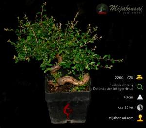 Skalnik-obecny-bonsaj-bonsai-cotoneaster-006