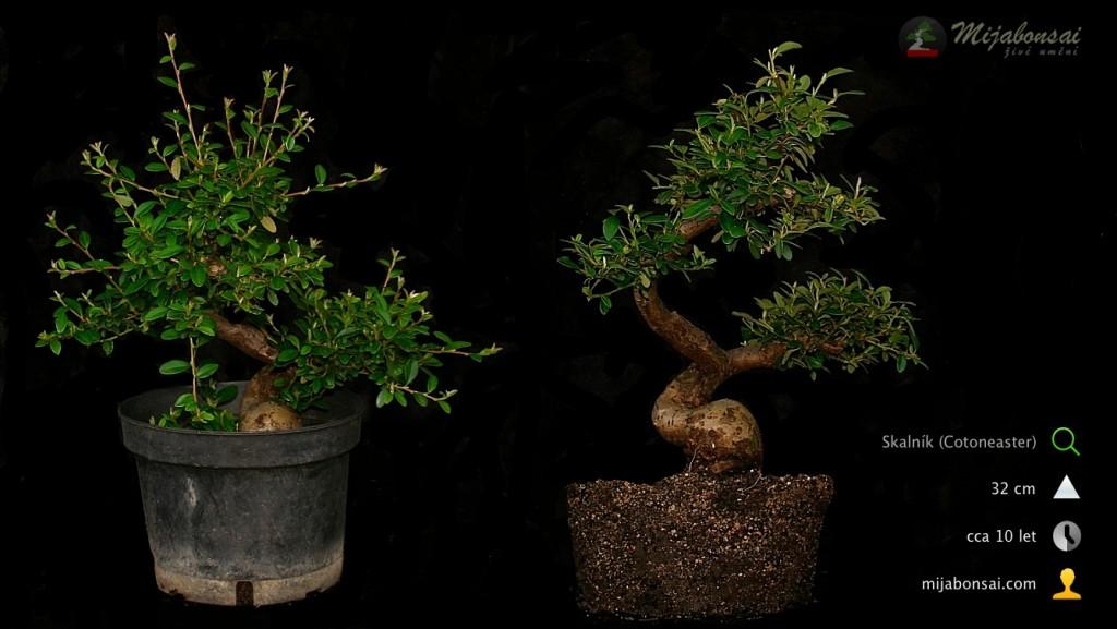 Skalnik-obecny-bonsaj-bonsai-cotoneaster