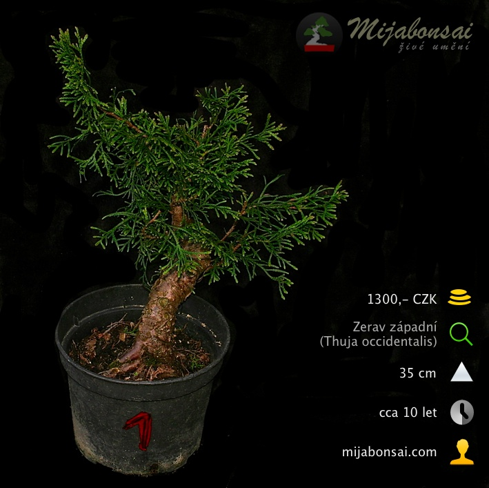 Zerav-zapadni-bonsaj-bonsai-thuja-occidentalis-001
