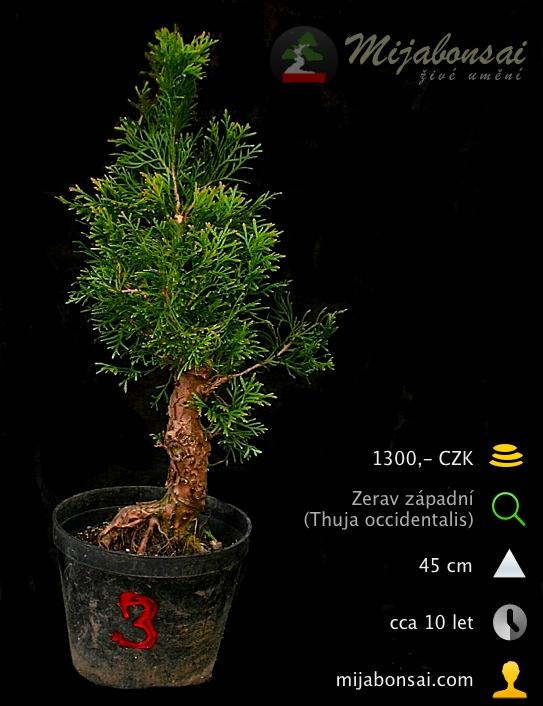 Zerav-zapadni-bonsaj-bonsai-thuja-occidentalis-003