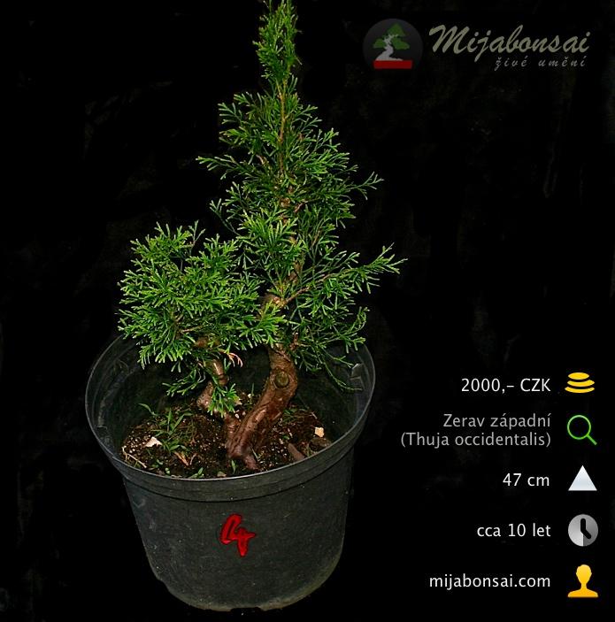 Zerav-zapadni-bonsaj-bonsai-thuja-occidentalis-004