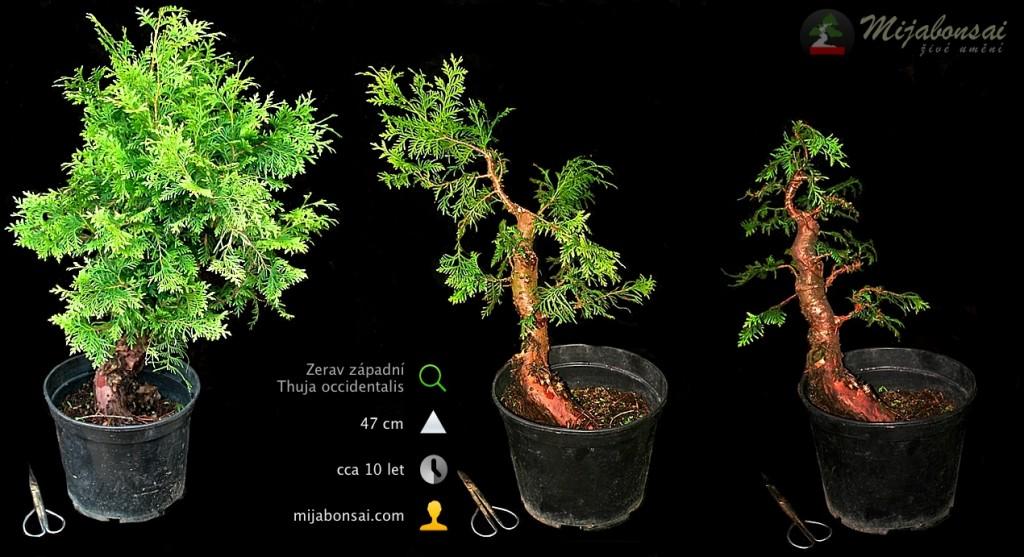 Zerav-zapadni-bonsaj-bonsai-thuja-occidentalis